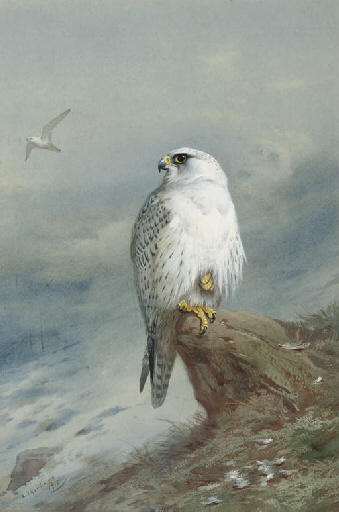 A Grönland Falcon, wasserfarbe von Archibald Thorburn (1860-1935, United Kingdom)