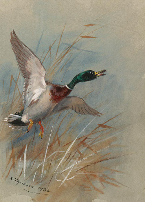 Ein Mallard Rising From Reeds, wasserfarbe von Archibald Thorburn (1860-1935, United Kingdom)