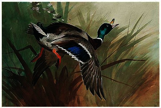 A Winged Mallard, wasserfarbe von Archibald Thorburn (1860-1935, United Kingdom)