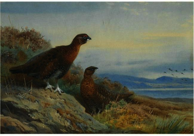 Klammer der Grouse, wasserfarbe von Archibald Thorburn (1860-1935, United Kingdom)