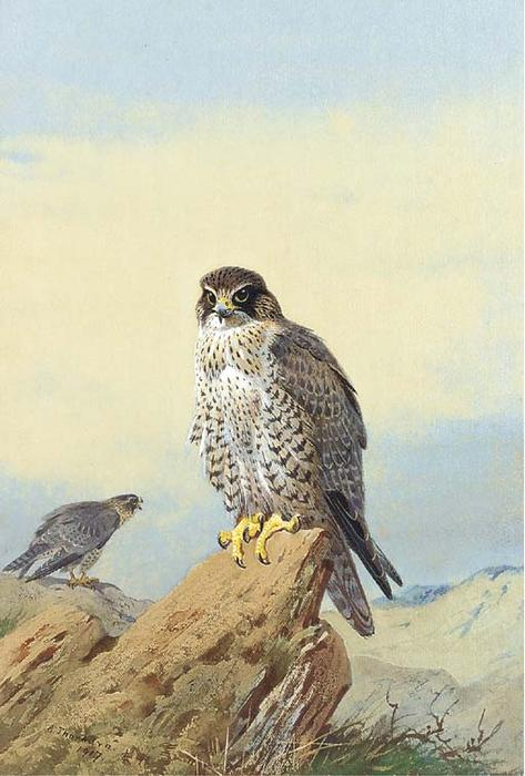 Gyr Falcon 1, wasserfarbe von Archibald Thorburn (1860-1935, United Kingdom)