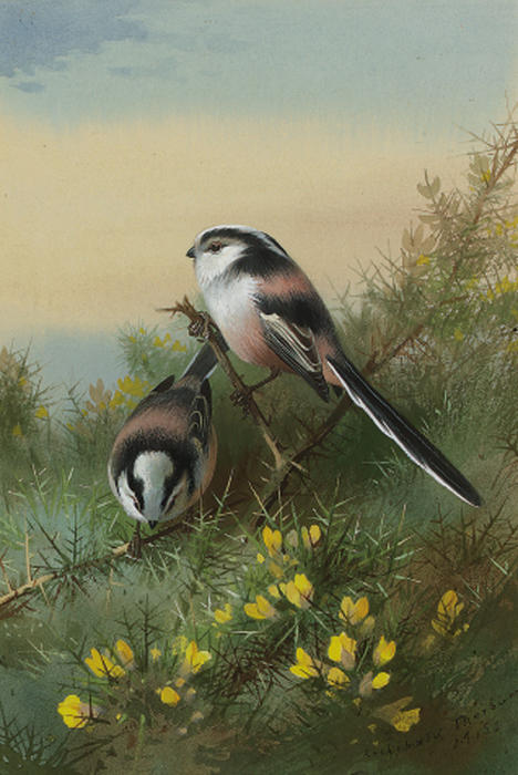 Long-tailed Tits On Gorse, wasserfarbe von Archibald Thorburn (1860-1935, United Kingdom)