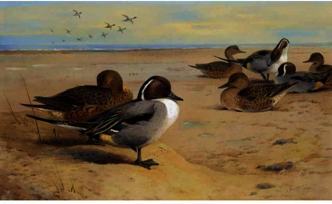 Pintail Ducks, wasserfarbe von Archibald Thorburn (1860-1935, United Kingdom)
