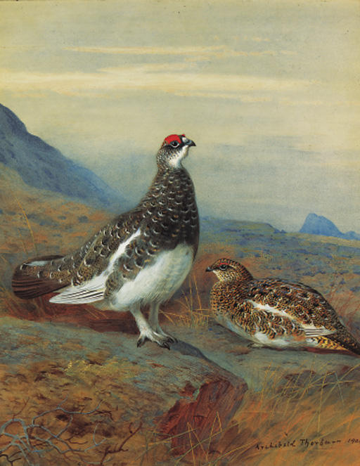 Ptarmigan im Sommer Gefieder, Aquarell von Archibald Thorburn (1860-1935, United Kingdom)