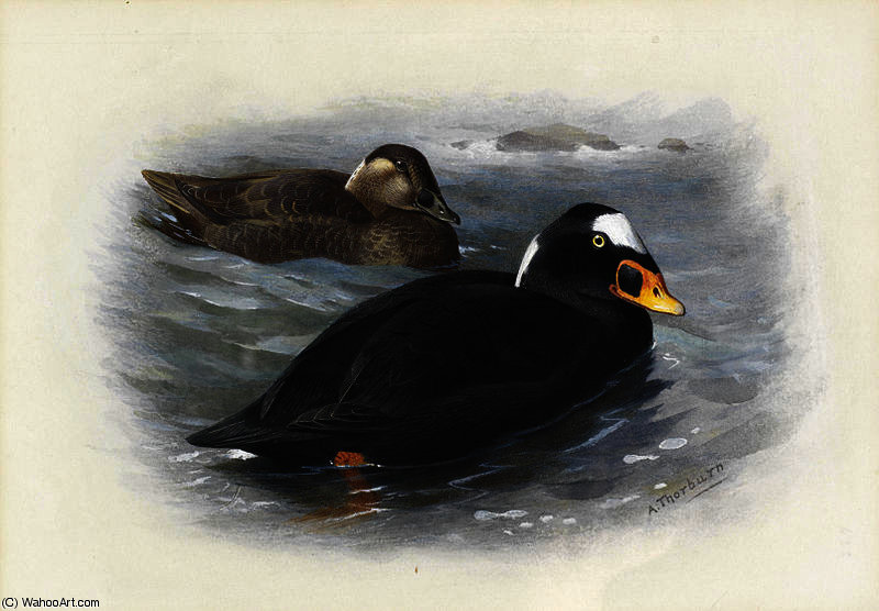 Surf scoter von Archibald Thorburn (1860-1935, United Kingdom)