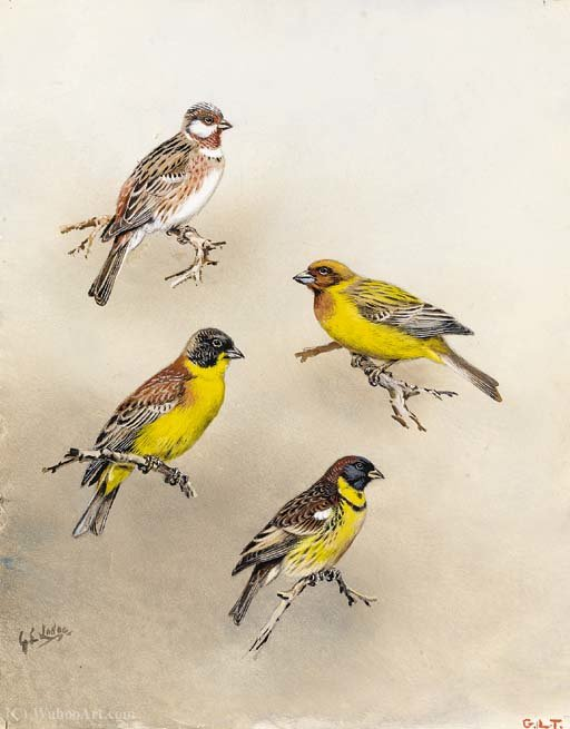 Pine Ammer und schwarz headed Bunting von George Edward Lodge (1860-1954, United Kingdom)